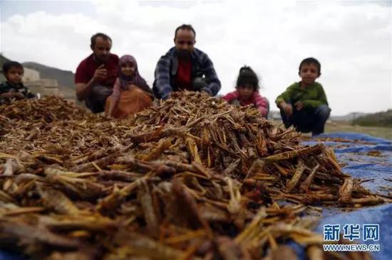 一天吃掉百万人口粮 铺天盖地的蝗虫离中国有多远图片
