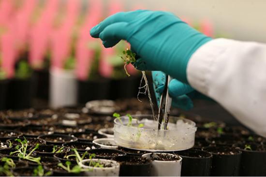 2018年2月12日,加拿大曼尼托巴省一处育种中心技术人员正在转移培育的油菜籽植株。
