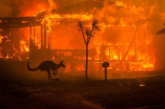 大火中的袋鼠(纽约时报)