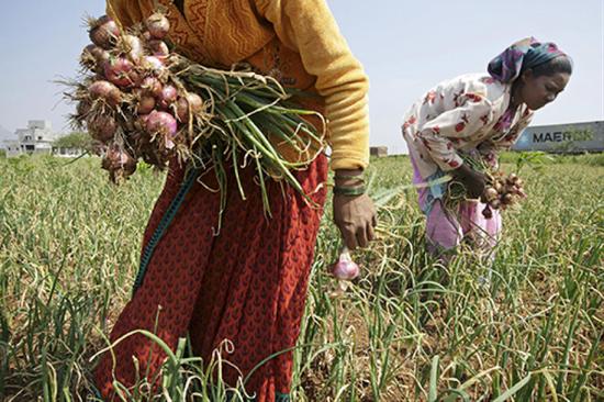 印度是世界最大的洋葱生产国和出口国之一。图|视觉中国