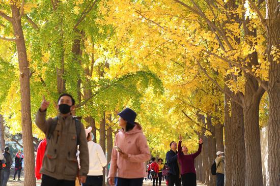 11月1日,钓鱼台银杏林迎来众多市民前来游览。饶强摄