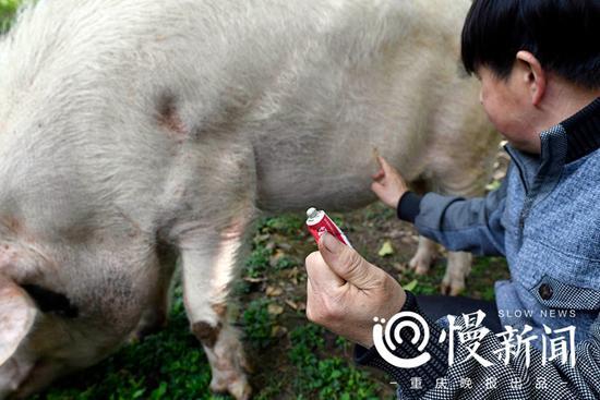 饲养员随身带着红霉素药膏,随时为猪坚强皮肤上的伤口擦药