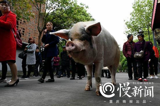 猪坚强出门散步晒太阳