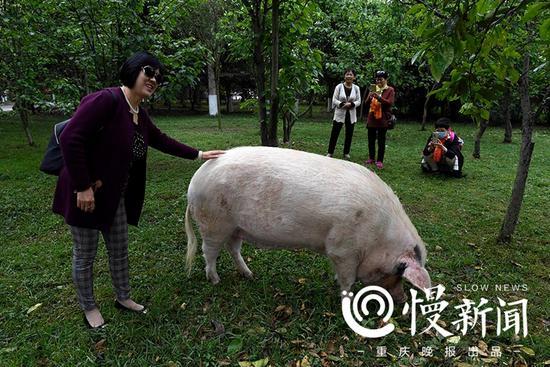 游客摸着猪坚强合影