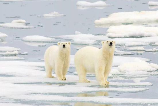 我国北极科考组织队员防熊 这些情况可以向熊开枪