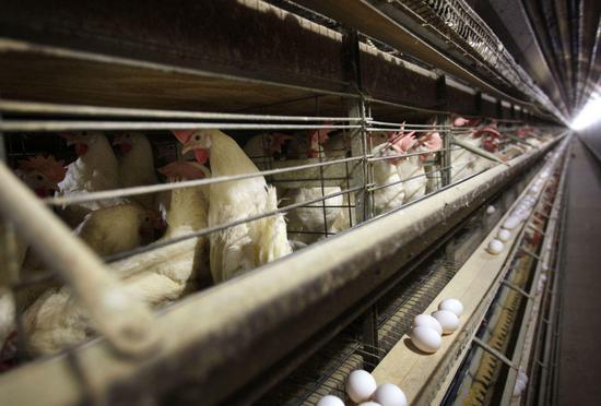 美国一些养鸡场已经最先对鸡实行安乐死。图据美联社