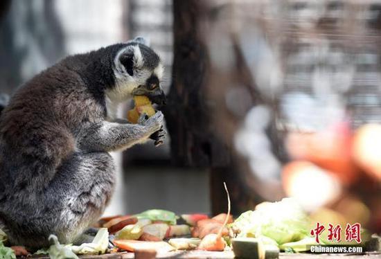 """今天,北京动物园内的环尾狐猴正在享受""""果蔬盛宴""""。"""