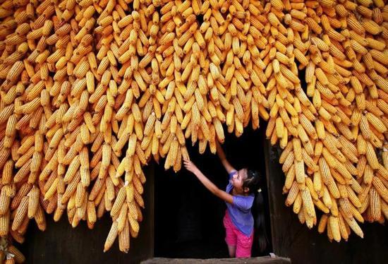 玉米,贵州凯里,拍照师@项新仄/星球研讨所
