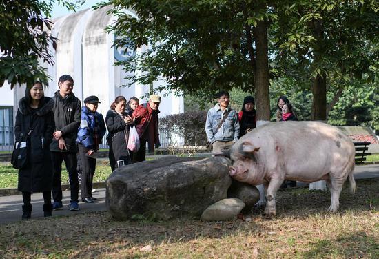 2020年1月3日,即将过完本命年的猪坚强,在成都建川博物馆与游客互动。
