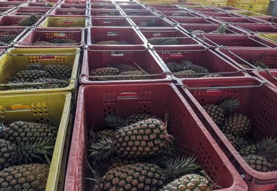 """大陆暂停台湾菠萝输入 台当局告""""洋状""""被痛批图片"""