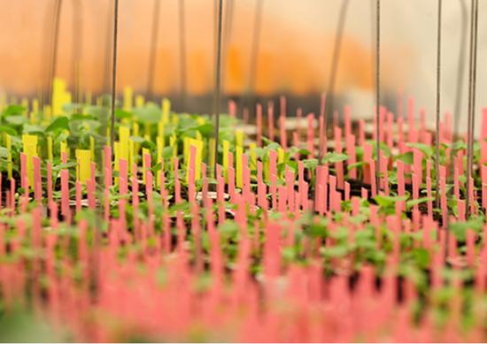 2018年2月12日,加拿大曼尼托巴省一处育种中心培育的油菜籽苗。