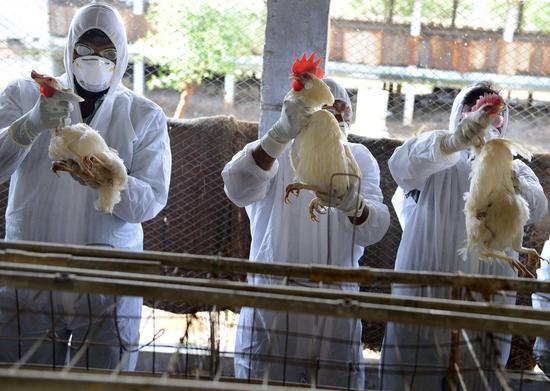 印度多地暴发禽流感疫情 已有4个邦进入警戒状态