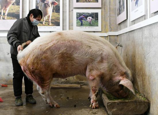 """""""猪坚强""""在饲养员的搀扶下吃营养餐。"""