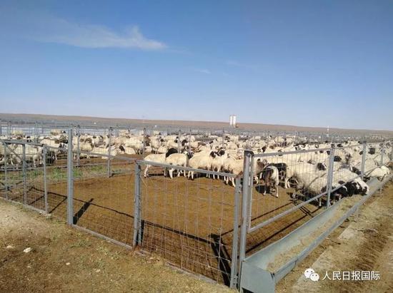 这次3万只羊真的要来了!它们已经进入隔离免疫区了