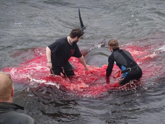 惨不忍睹 法罗群岛百余头鲸鱼遭捕杀海水被染红