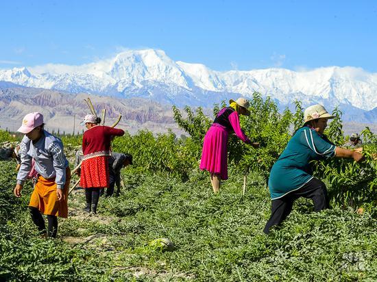 △新疆阿克陶县村民在林果基地为桃树打枝,林间同时套种了西瓜。
