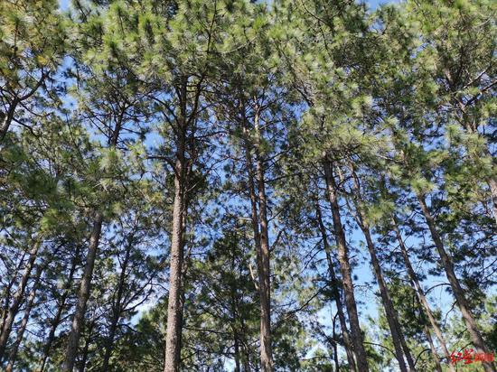 西昌市的飞播林重要是云南松