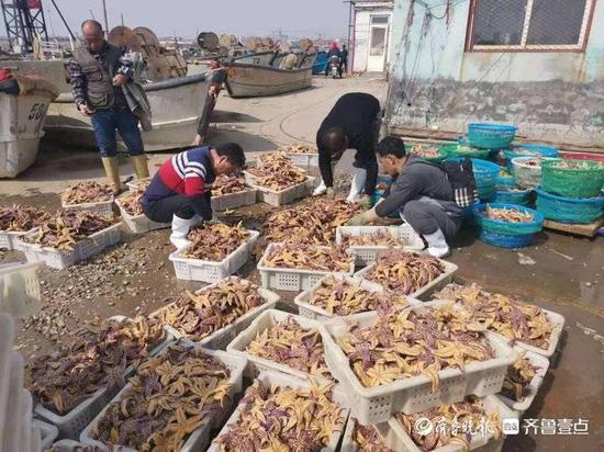 青岛胶州湾海星泛滥吃光养殖蛤蜊,渔业部门:3天内出台措施图片