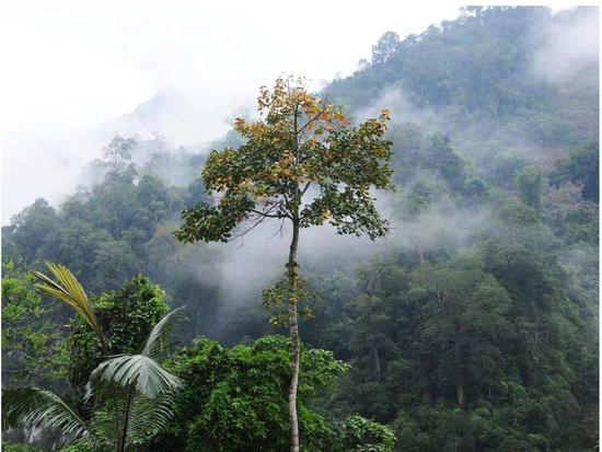 仅50株左右,云南河口发现新物种大围山梧桐(图)图片