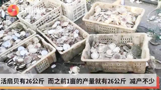 视频-记者实地探访受灾海域 獐子岛大部分扇贝剩空壳