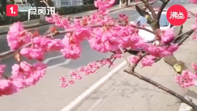 视频-武大校医院早樱盛开 网友:愿疫情早日离去 我们樱花树下见