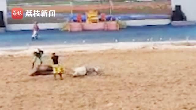 危险!景区表演中两马高速相撞  演员飞出  马匹被抬下场
