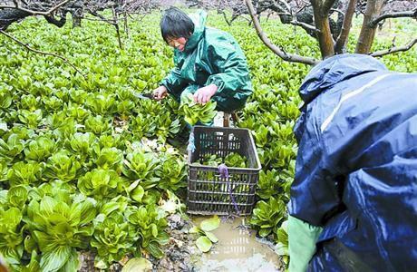 昨日,南汇新场农民正抓紧收割青菜。/晨报记者