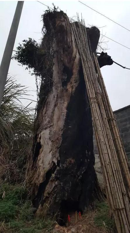 曾经的参天大树如今只剩枯黑的树干