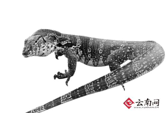 1.2米巨蜥潜入农家偷鸡蛋 被抓时仍在吞吃