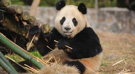 中国两只大熊猫将搭专机赴韩 住3300平别墅(图)