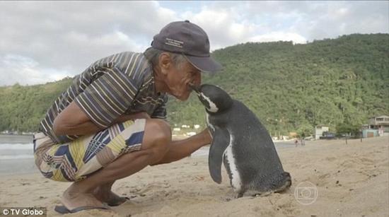 感动!被救企鹅每年游8000公里回来看老人(图)