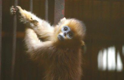 2015年4月9日,成都动物园,被森林公安解救出来的金丝猴。