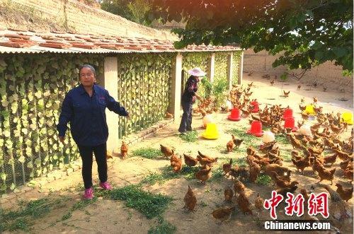 农民专业合作社理事长高俊霞介绍土鸡养殖情况。中新网 种卿 摄