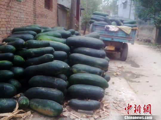 由于场地有限,村民们将采摘下来的冬瓜放置在院子外小路旁边。 王秋兰 摄