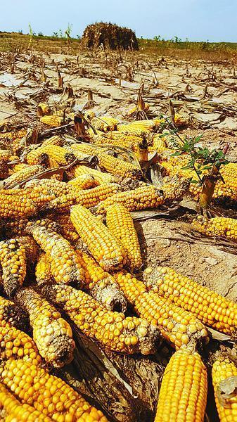陕西转基因玉米案:嫌犯供述