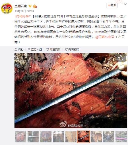 """网曝""""丽江红豆杉被盗伐""""事件,图片来源于微博截图"""