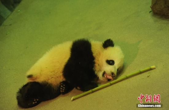 3只旅美大熊猫将返回中国 美媒:粉丝们悲伤不舍