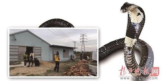 南京出逃眼镜蛇仍有59条下落不明 若伤人谁担责