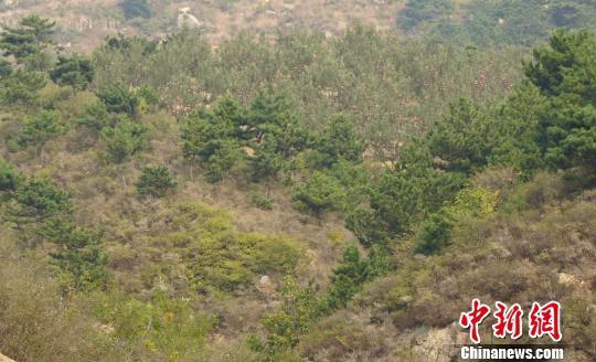 河北抚宁大片国家公益林被毁 村民借此套取补贴 新闻 第3张