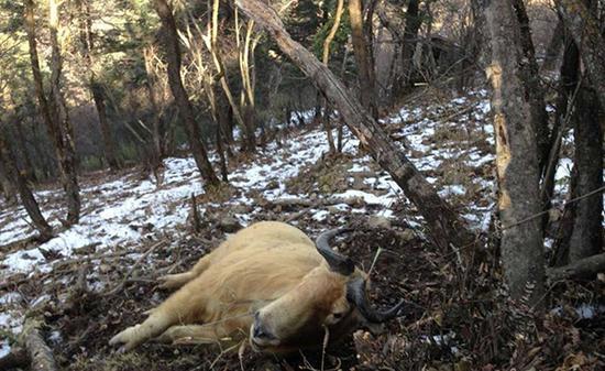国家一级保护动物羚牛被勒死 周边有捕猎装置