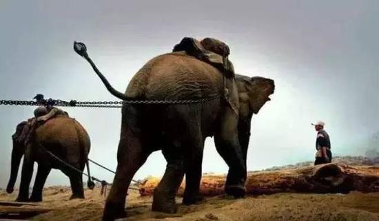 艾滋病试纸购买伐木场大象的一生:生而为奴直到死亡(图)