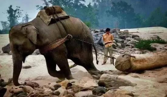 伐木场大象的一生:生而为奴直到死亡(图)