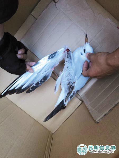 受伤的海鸥 供图