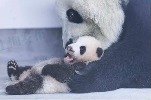 """熊猫""""帼帼""""母女"""