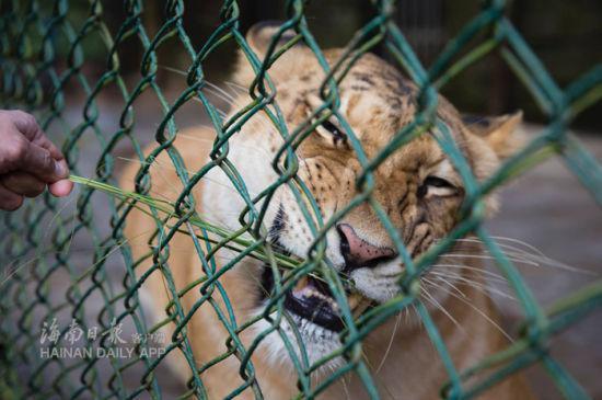 1月20日上午,两只活泼可爱的狮虎狮兽在海南热带野生动植物园与市民游客见面。海南日报记者宋国强摄