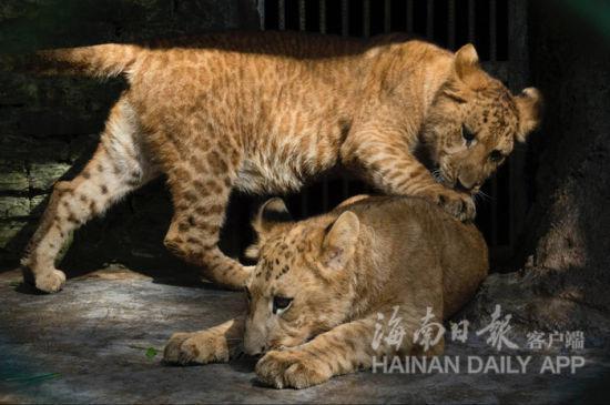 海南热带野生动植物园先后有11只狮虎兽和6只虎狮兽繁殖成功,成为了世界上繁殖狮虎兽最多的动物园。海南日报记者宋国强摄