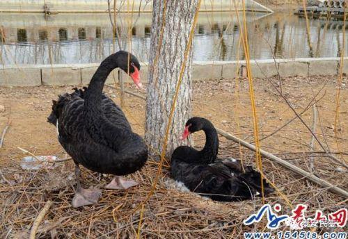 公天鹅守护母天鹅孵蛋