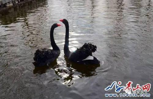 丢失鹅蛋的一对黑天鹅已经四天不吃喝,在水中不停鸣叫。