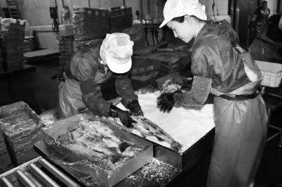 国家研修生在日本实为低端劳作者,处置往鲑鱼身上抹盐等简略事情 图/新华国际