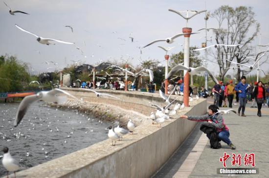 资料图:在昆明滇池边喂海鸥的游客。中新社发 刘冉阳 摄